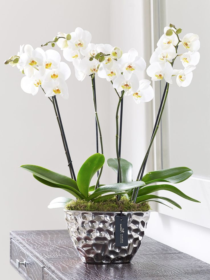 Beautiful white flowers. White orchids in a silver metalic planter. Luxury Phalaenopsis Planter from Venus Flowers, Manchester, UK.