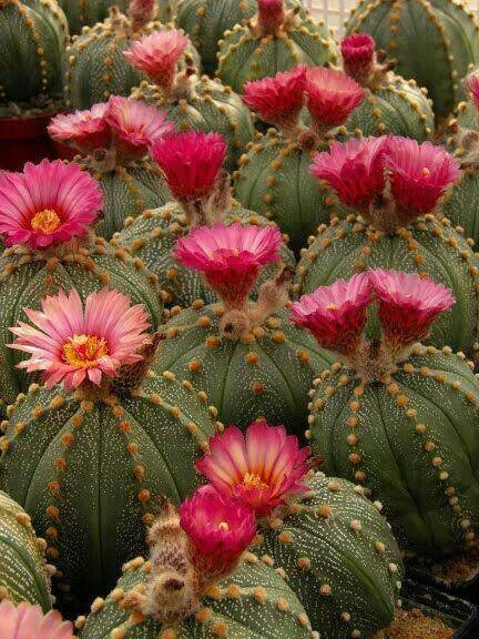 """Astrophytum hybrid SEN-AS """"ROSA"""" (Pink flowered form) (A. senilis var. aureum x A. asterias nudum)?"""