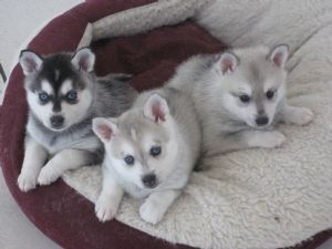 Alaskan Klee Kai puppies.  Basically Mini Siberian Huskies.  Cute!  I want one of these badly!things-that-i-think-are-awesome