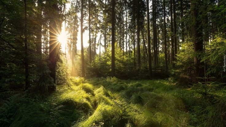 Las, Drzewa, Trawa, Poranek, Promienie, Wschód słońca