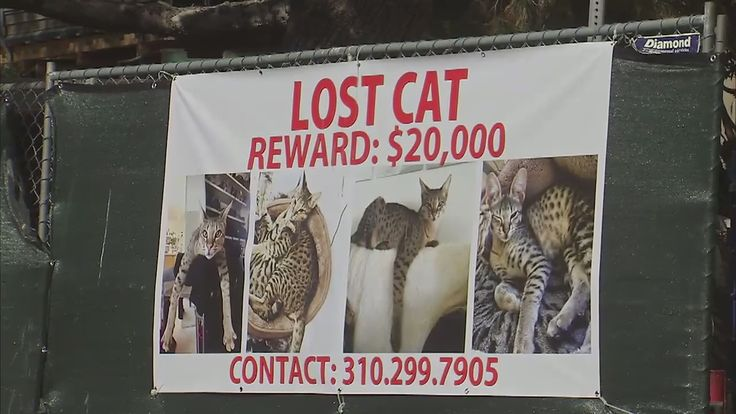 lost cat poster with reward of $20,000