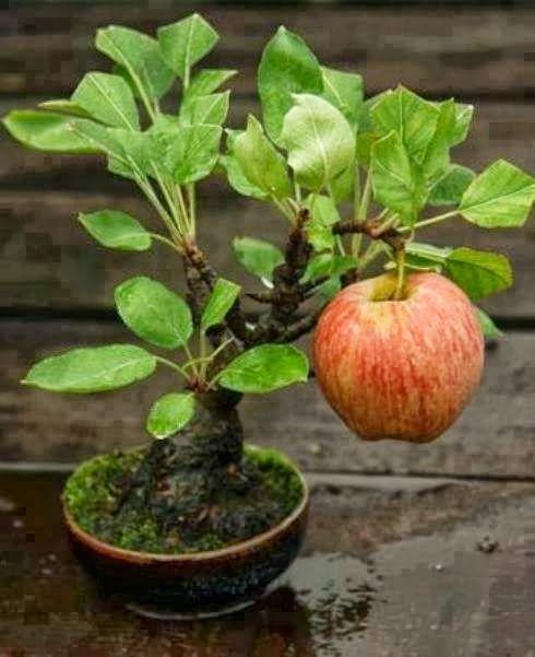 minha maçã...