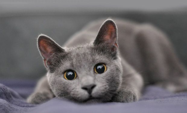 Cat of the Week: The Regal Russian Blue
