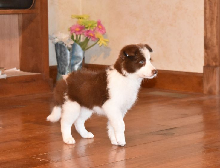 What a handsome red and white Border Collie puppy! #BorderCollie