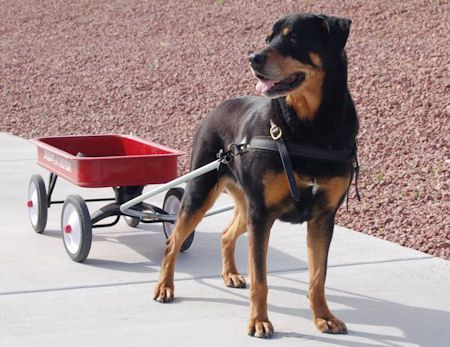 dog pulling wagon | gentler walks with a pulling racing harnesses.