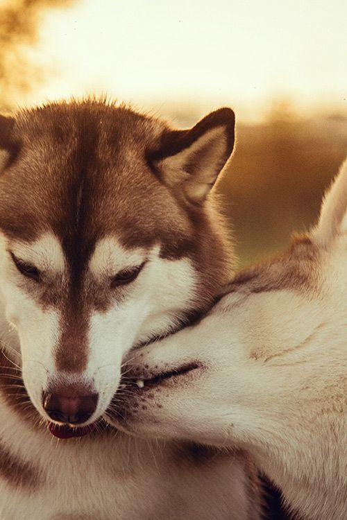 This is beautiful. Husky © Alexandre Marques