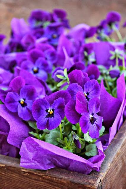 Um jardim para cuidar: Quem não gosta de amores-perfeitos ?