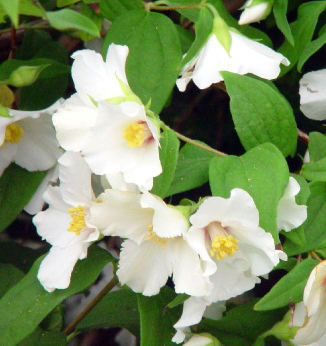 739 best images about fragrant balcony plants on pinterest. Black Bedroom Furniture Sets. Home Design Ideas