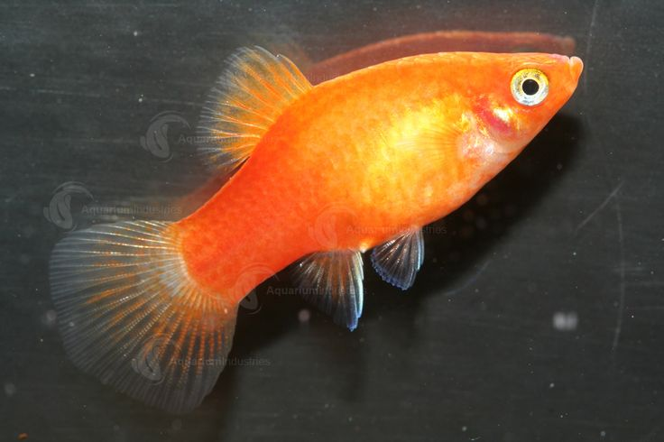 31 best orange aquarium fish images on pinterest fish for Best community fish