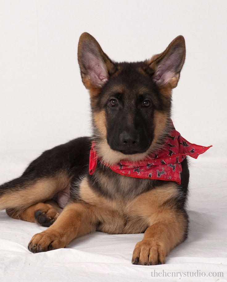 german shepherd puppy with red bandana