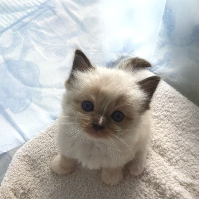 Soooo Sweet!! Ragdoll baby 4 weeks old ) Animals