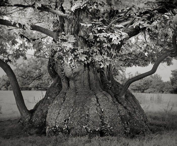 staroveke-stromy7