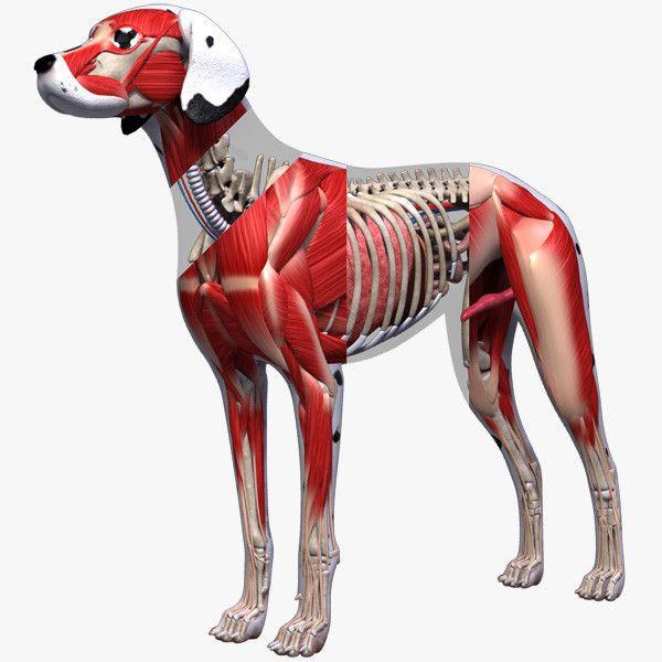 3d dog anatomy - Dog Anatomy (Textured)... by leo3Dmodels