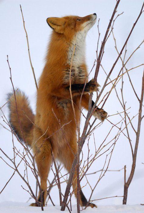 "Fox: ""A Missed Opportunity ~ The Bird Took Flight!"""