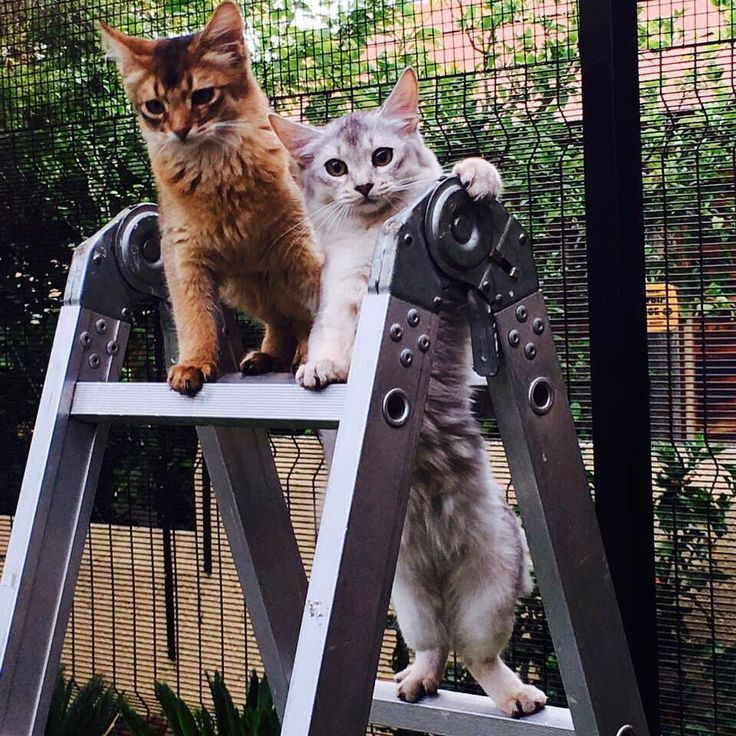 Two cheeky Somali kittens posing as construction workers at the end of a long work day in the Fortress of Cattitude at Neverwinter.