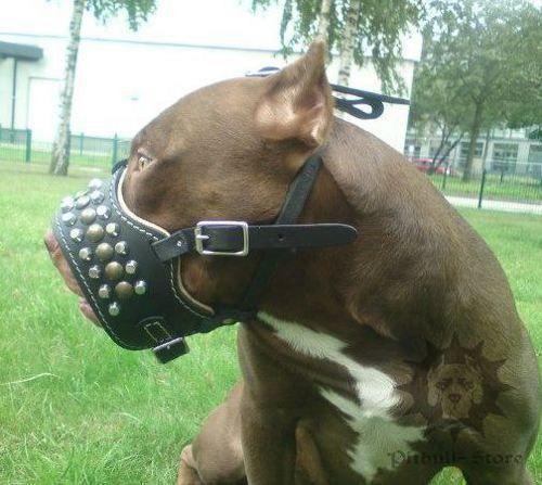 Pitbull Muzzle for Sale with Studs and Pyramids #staffy #pitbull #dogsafety #dogsuk