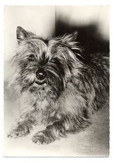 Image result for vintage cairn terrier photography  – Cairns & other Furry Friends