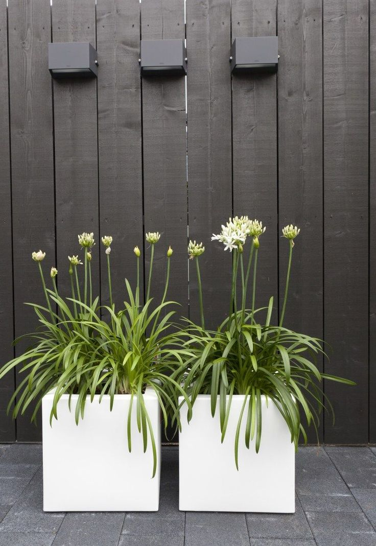 white alliums in contemporary white planters - gorgeous against the grey