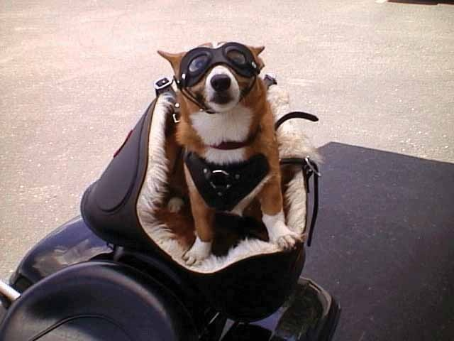 Motorcycle Stores Near Me >> 140 best images about Biker Dogs on Pinterest