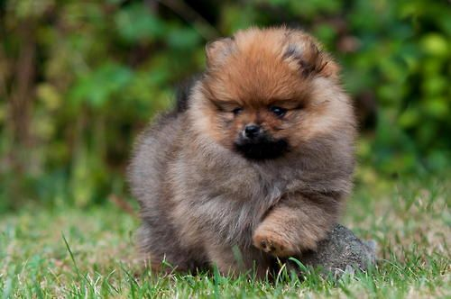 wolf sable pomeranian for sale wolf sable parti pomeranian 4173