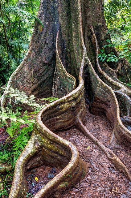 Tree with buttress roots in Wooroonooran National Park in Queensland, Australia.