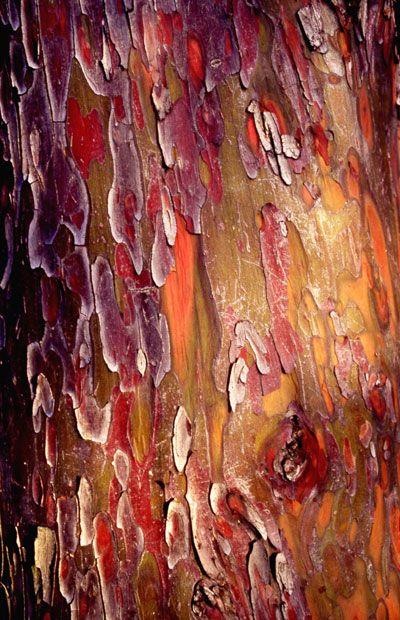Les plus belles écorces de Paris  Cyprès – Cupressus arizonica – Photo : Roseline Manière de Kergos