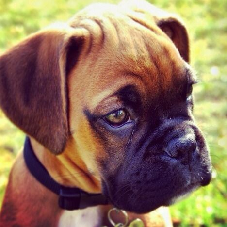 Dog - Boxer - Zurk on www.yummypets.com