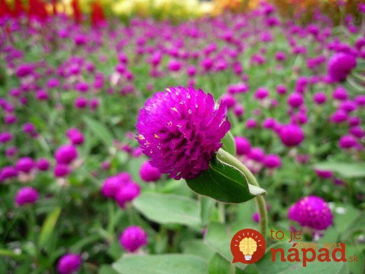 Globe-amaranth-all-summer-long-bloom_800x