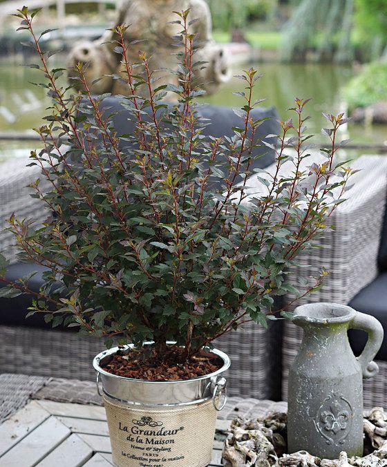 Physocarpe 'Little Joker'  Le physocarpe (Physocarpus opulifolius 'Little Joker') a des fleurs en ombelles blanc-crème rosâtre à cœurs jaunes et étamines élégantes un beau contraste avec les feuilles rouge bordeaux. Un arbuste vigoureux superbe dans votre jardin ! Connu comme spirée à feuille d'obier. Par sa croissance compacte cet arbuste est joli en pot ou jardinière mais il peut aussi être planté en parterre d'arbustes ou en solitaire. Commandez-en plusieurs pour faire revenir la couleur…