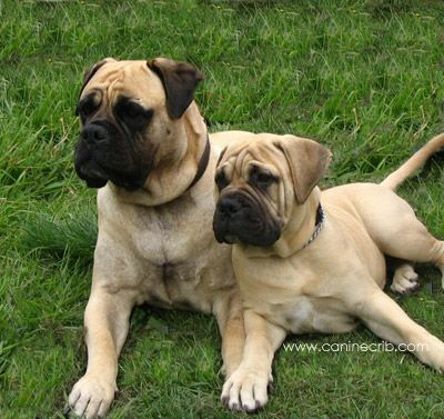 One day, when I have a big enough yard, I will get my childhood dream dog. Love my bullmastiffs