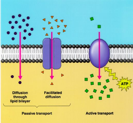 Image result for cell transport