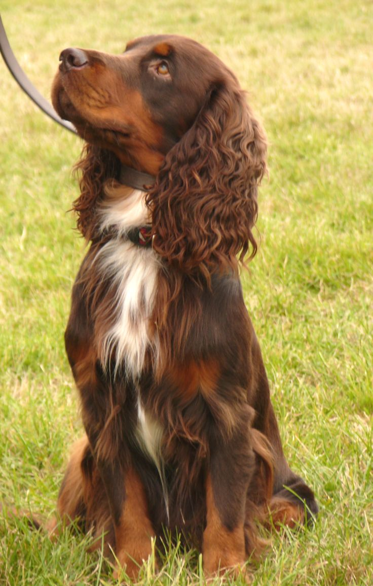 English Cocker Spaniel  Female: 26–33 lbs  Male: 29–35 lbs Female: 14–16 inches Male: 15–17 inches