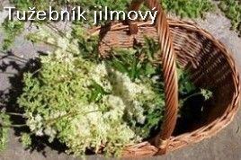 http://www.podomacku.net/rozcestnik/bylinky_ktere-uzivame/tuzebnik-jilmovy