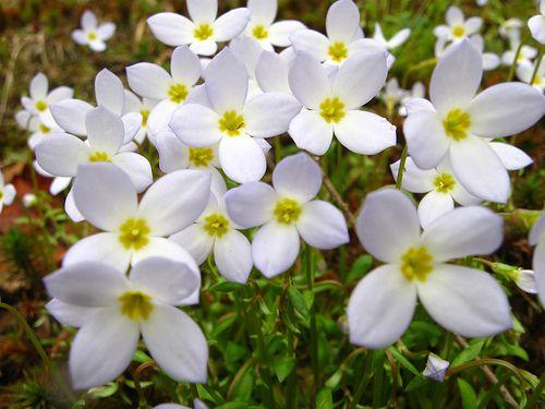 Massachusetts State flower. Mayflower | All Things New ...