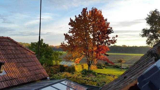 Amberboom in de herfst, zeeland