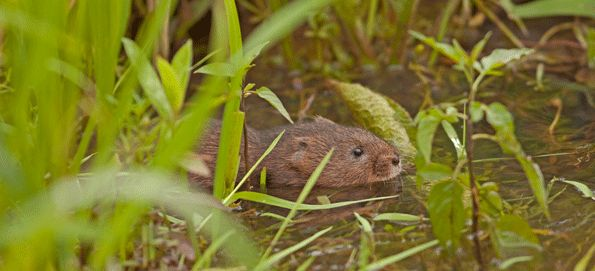 http://www.moors-valley.co.uk/wp-content/uploads/2014/08/water-vole.gif