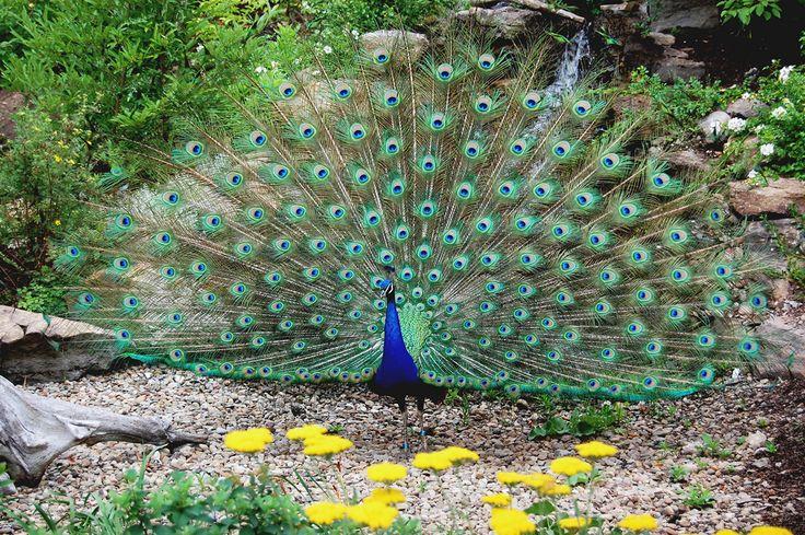 Красавец-павлин -   Handsome peacock  Немногие животные вообще и птицы в частности могут поспорить с красотой и изящностью павлина. Правда, по-настоящему красив только самец — павы выглядят куда скромнее. Павлин широко распространён в Пакистане, Индии и Шри-Ланке на вы