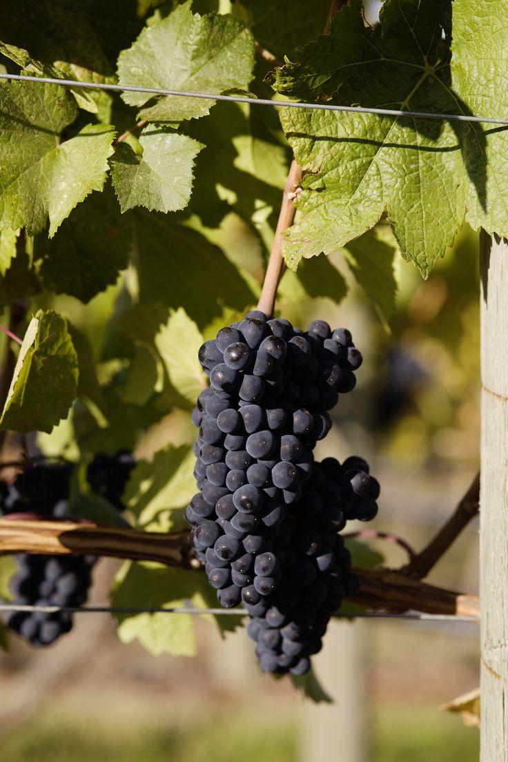 CedarCreek Estate Winery in Kelowna, British Columbia. #ExploreBC #ExploreKelowna #Vineyard #ExploreCanada #Winery #WIne #Okanagan #BCVQA