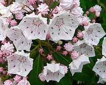 "Mountain Laurel ""Kalmia latifolia""    ""The plant is naturally found on rocky slopes and mountainous forest areas. It thrives in acidic soil...The species is a frequent component of oak-heath forests"""