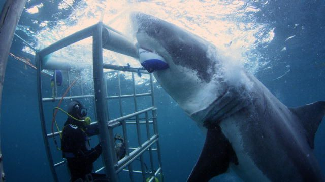 Your Daily VR Fix, Today: DiscoveryVR Swim With Great White Sharks 360 VR http://alcaudullo.com/discoveryvr-sharks-360-vr/