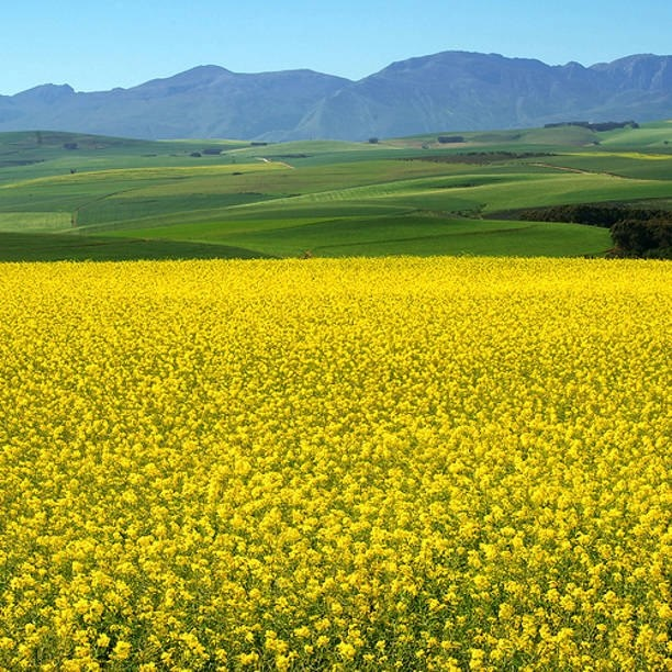 The Canola fields around Cape Town are in bloom. South Africa.