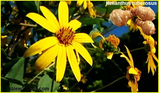 دوار الشمس الدرني Helianthus Tuberosus الخضروات النبات معلومان عامه معلوماتية Plants