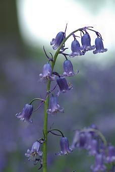 English Bluebell Flower, Coton Manor, Shrewsbury, Northamptonshire