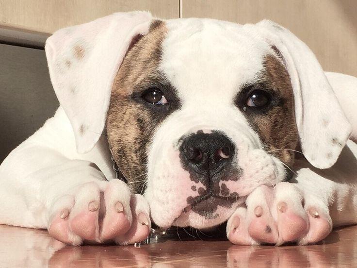 Apache as a puppy