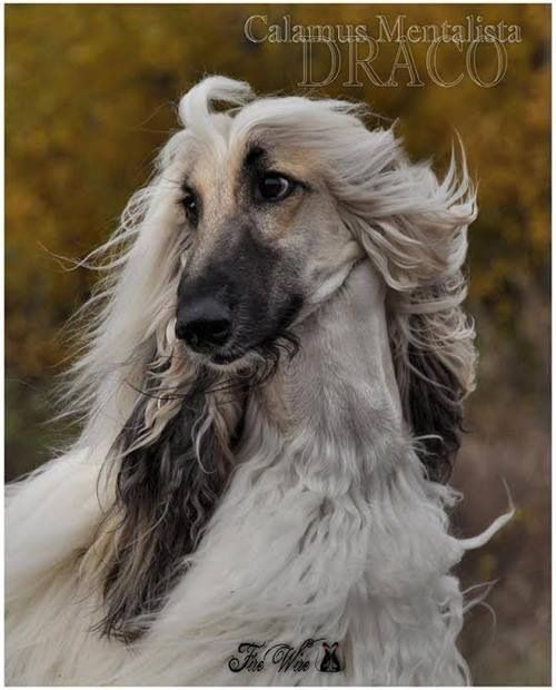 Sims 3 Afghan Hound 669 best images about ...