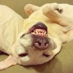 Instagram photo by choro.to.bee - その顔でシッポ振られても…。 今日もよくたるんでます! おやすみなさーい(-_-).。oO  #dog #labradorretriever #lab #ワンコ #ラブラドール #ラブラドールレトリバー #ぶさい...