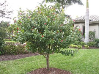 17 best images about plants we use in our landscaping for What do we use trees for