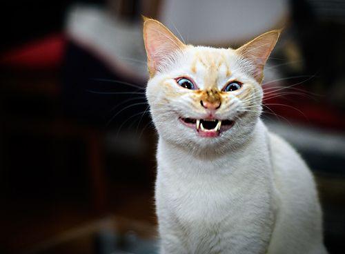 """Isso é o que acontece quando você pede ao Mizu (vulgo """"João Grandão"""") sorrir para o retrato.  So this is what happened when I asked Mizu (aka """"Big John"""") to smile for the camera. And no, I don't know what's wrong with his nose. Maybe he got stung by  Funny Cats Compilation"""