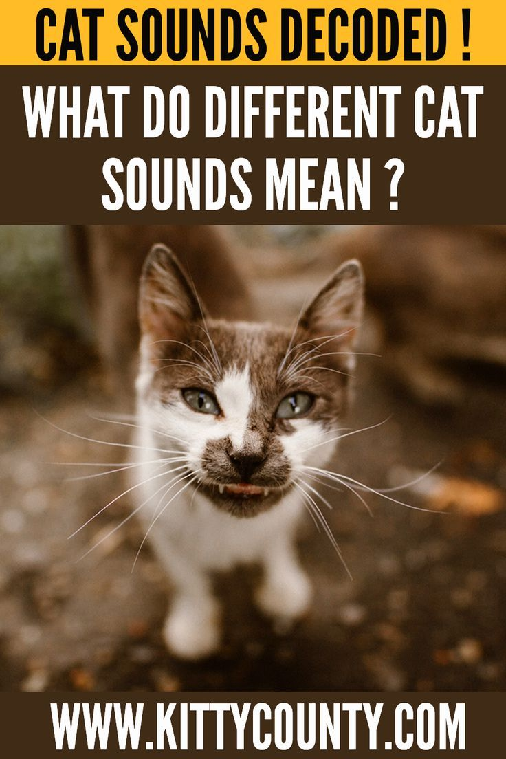 The Sound Of Cat The Meaning Of Those Cat Sounds Decoded In 2020 Animals Cats Cute Funny Animals