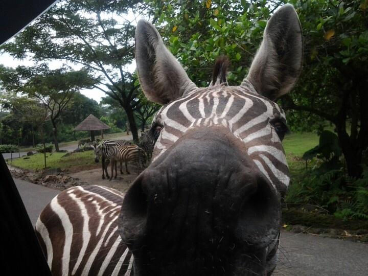 Zebra nose >_